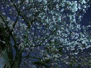 100327桜