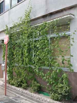 2012緑のカーテン.jpg