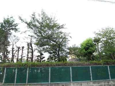 隣地の桜.jpg