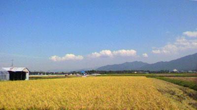 110908稲刈り-1.jpg